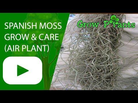 Spanish moss - grow & care (Tillandsia usneoides)