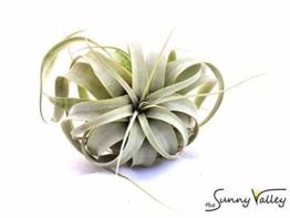 1 Tillandsia xerographica, Tillandsien für Terrarien, Aufsitzerpflanzen - 1