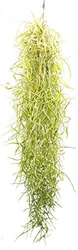 Allterra Tillandsia usneoides, Tillandsien, Bromeliengewächs - 1