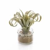artplants.de Set 3 x Künstliche Tillandsia Cites RAJA im Glas, grau - grün, 16cm - Kunstpflanze - 1