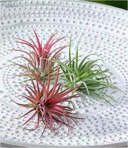 BALDUR-Garten Tillandsien Mix, 3 Pflanzen Deko Pflanzen Airplants Luftpflanzen - 1