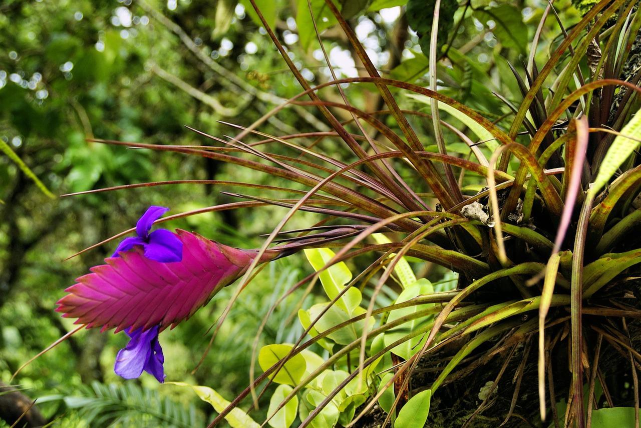 Tillandsien Blüte