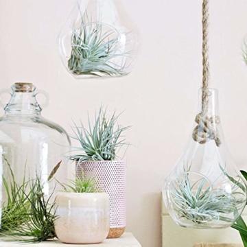 Plant in a Box – 5er Mix Tillandsien Luftpflanzen – Tillandsia Zimmerpflanzen – Höhe 5-10cm - 2