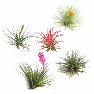 Plant in a Box – 5er Mix Tillandsien Luftpflanzen – Tillandsia Zimmerpflanzen – Höhe 5-10cm - 1
