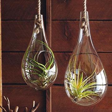 Plant in a Box – 5er Mix Tillandsien Luftpflanzen – Tillandsia Zimmerpflanzen – Höhe 5-10cm - 5