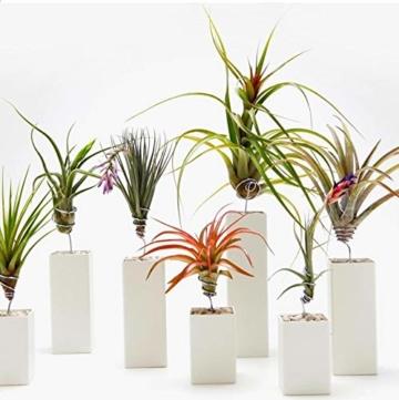 Plant in a Box – 5er Mix Tillandsien Luftpflanzen – Tillandsia Zimmerpflanzen – Höhe 5-10cm - 6