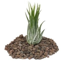 Tillandsia scarposa - lose Pflanze - 1