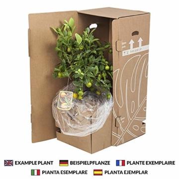 Zimmerpflanzen von Botanicly – 4 × Tillandsien arrangement aus 3 Sorten – Höhe: 15 cm – Tillandsia - 3