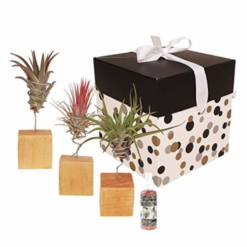Zimmerpflanzen von Botanicly – 4 × Tillandsien arrangement aus 3 Sorten – Höhe: 15 cm – Tillandsia - 1