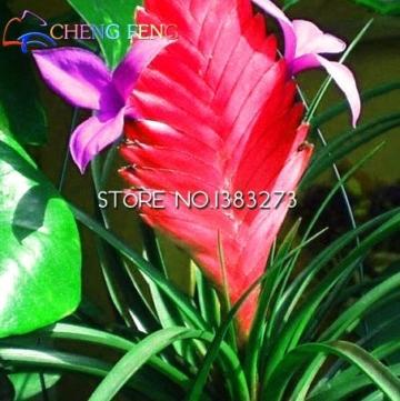 50HOT SALE Tillandsien Cyanea Samen Getopfte Blumensamen violett Chinesische Rare Bonsai Dekoration für Home & Garden Shown In Desc farblos - 2