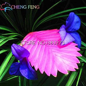 50HOT SALE Tillandsien Cyanea Samen Getopfte Blumensamen violett Chinesische Rare Bonsai Dekoration für Home & Garden Shown In Desc farblos - 3
