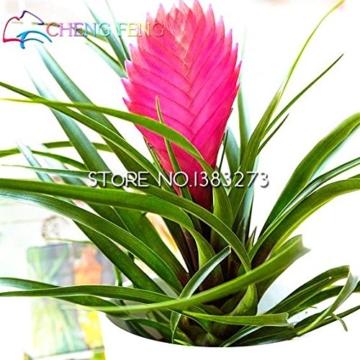 50HOT SALE Tillandsien Cyanea Samen Getopfte Blumensamen violett Chinesische Rare Bonsai Dekoration für Home & Garden Shown In Desc farblos - 1