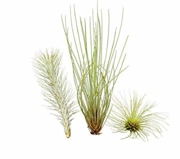 Allterra Ausgefallenes Tillandsien 3er-Set, 1 Tillandsia festucoides, 1 Tillandsia funckiana, 1 Tillandsia fuchsii v. gracilis - 1