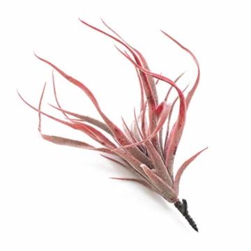 artplants.de Künstliche Tillandsia Stricta Kimmy, rot, 25cm - Kunstpflanze - 3