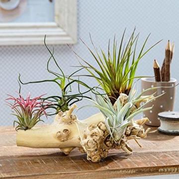 Ecoworld Tillandsien, Luftpflanzen - 5 Stück - 5 Verschiedene Pflanzen + Dekoratives Holz - 3