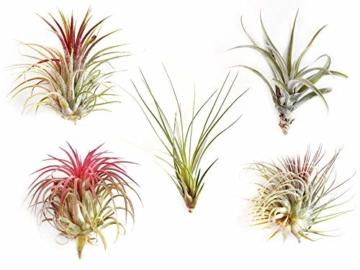 Ecoworld Tillandsien, Luftpflanzen - 5 Stück - 5 Verschiedene Pflanzen + Dekoratives Holz - 1