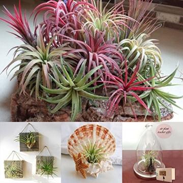 good01 100 Stücke Seltene Tillandsia Pflanzen Samen | Sortierte Lonantha-Luftpflanzen Für Garten-Schönheits-Dekoration - 1