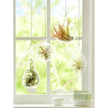 good01 100 Stücke Seltene Tillandsia Pflanzen Samen | Sortierte Lonantha-Luftpflanzen Für Garten-Schönheits-Dekoration - 8