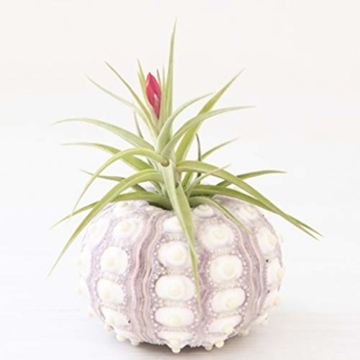 Sweo Samen-Töpfe, Seeigel-Pflanzen, Blumentopf, Tischplatte, Tillandsien-Halter, Miniatur-Gartendekoration - 6