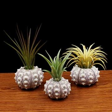 Sweo Samen-Töpfe, Seeigel-Pflanzen, Blumentopf, Tischplatte, Tillandsien-Halter, Miniatur-Gartendekoration - 7