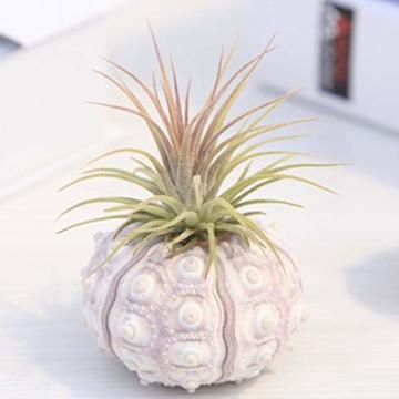 Sweo Samen-Töpfe, Seeigel-Pflanzen, Blumentopf, Tischplatte, Tillandsien-Halter, Miniatur-Gartendekoration - 8
