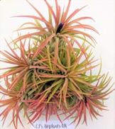 Tillandsia Ionantha 'Rot' Luft Pflanze X 3 - 1
