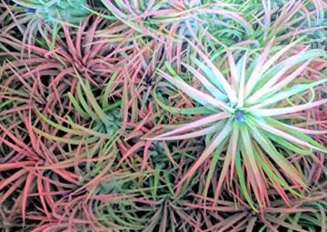 Tillandsia Ionantha 'Rot' Luft Pflanze X 3 - 2