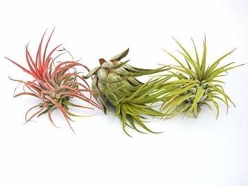 Tillandsia: Ionantha+Rot+ Scaposa Luft Pflanze Indoor Haus Pflanze Blume für Geschenk sonder Hochzeit - 1