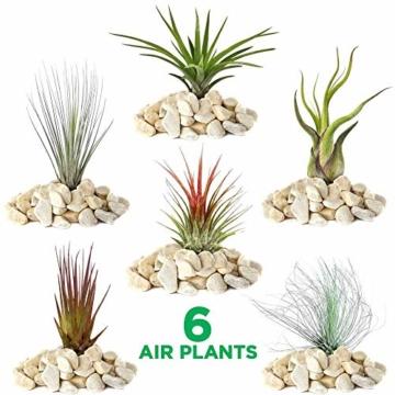 Tillandsia Mix – 6 Pflanzen – Zimmer-Luftpflanze für Terrarium - 1