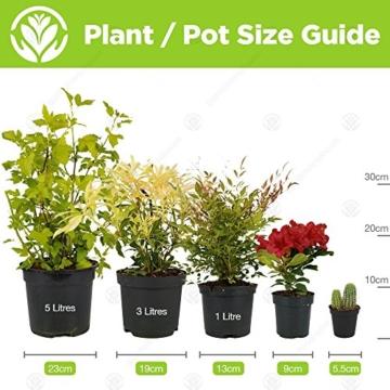 Tillandsia Mix – 6 Pflanzen – Zimmer-Luftpflanze für Terrarium - 2