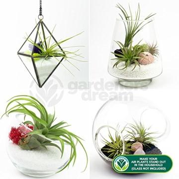Tillandsia Mix – 6 Pflanzen – Zimmer-Luftpflanze für Terrarium - 4