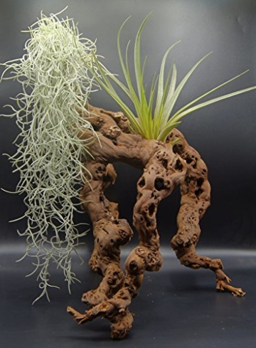 Tillandsien 2er XL Mix, Tillandsia usneoides, Tillandsia fasciculata, Bromeliengewächs - 3