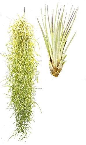 Tillandsien 2er XL Mix, Tillandsia usneoides, Tillandsia fasciculata, Bromeliengewächs - 1