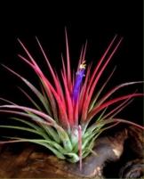 WFW wasserflora Tillandsia ionantha ionantha - 1