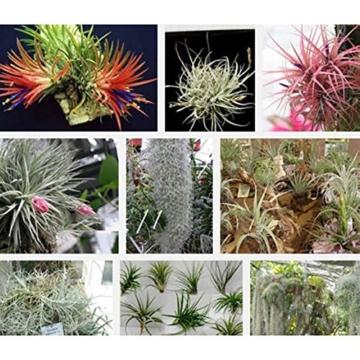 WuWxiuzhzhuo Tillandsia-Samen, seltene Gartendekoration, 100 Stück 1 - 6
