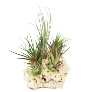 Tillandsien auf Sansibar-Rock - XXL - 5 Pflanzen - 2