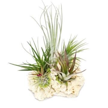 Tillandsien auf Sansibar-Rock - XXL - 5 Pflanzen - 3