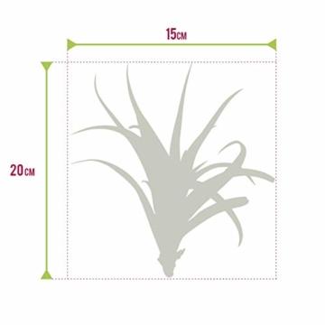 Ecoworld Tillandsien, Luftpflanzen - 20 Stück -2 x 10 Verschiedene Pflanzen Mischen - 2