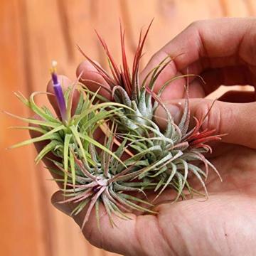 Ecoworld Tillandsien, Luftpflanzen - 20 Stück -2 x 10 Verschiedene Pflanzen Mischen - 5
